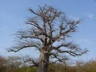 West Africa Baobab